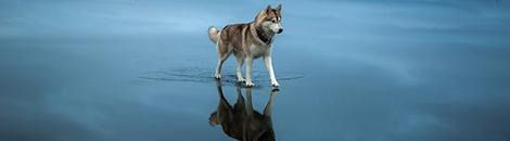 perros siberianos portada hielo